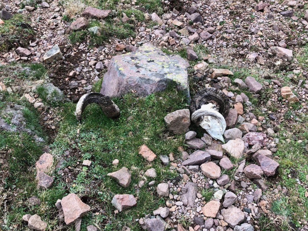 Der Rest vom einzigen Mufflon, das wir auf der gesamten Wanderung gesehen haben