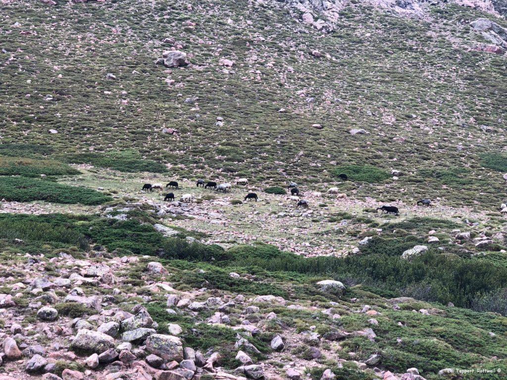 Eine grasende Schafherde in der Senke