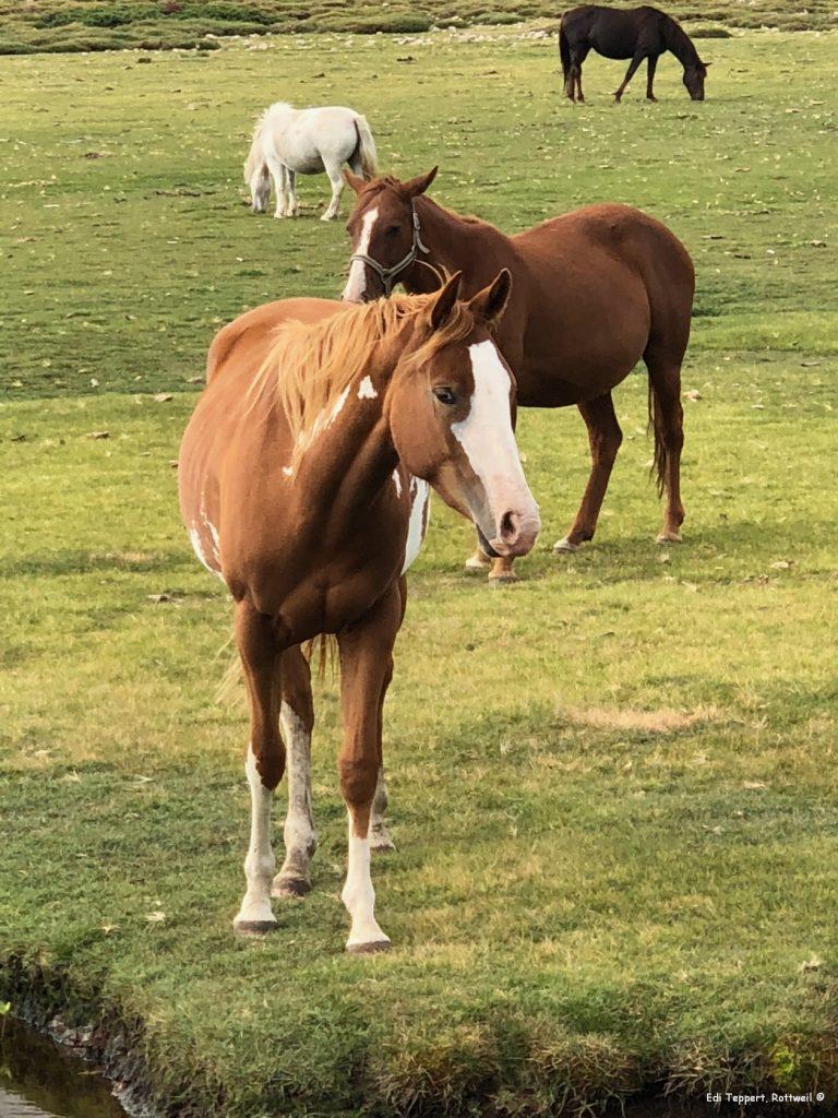 Viele Pferde grasen am Ufer des Lac de Nino