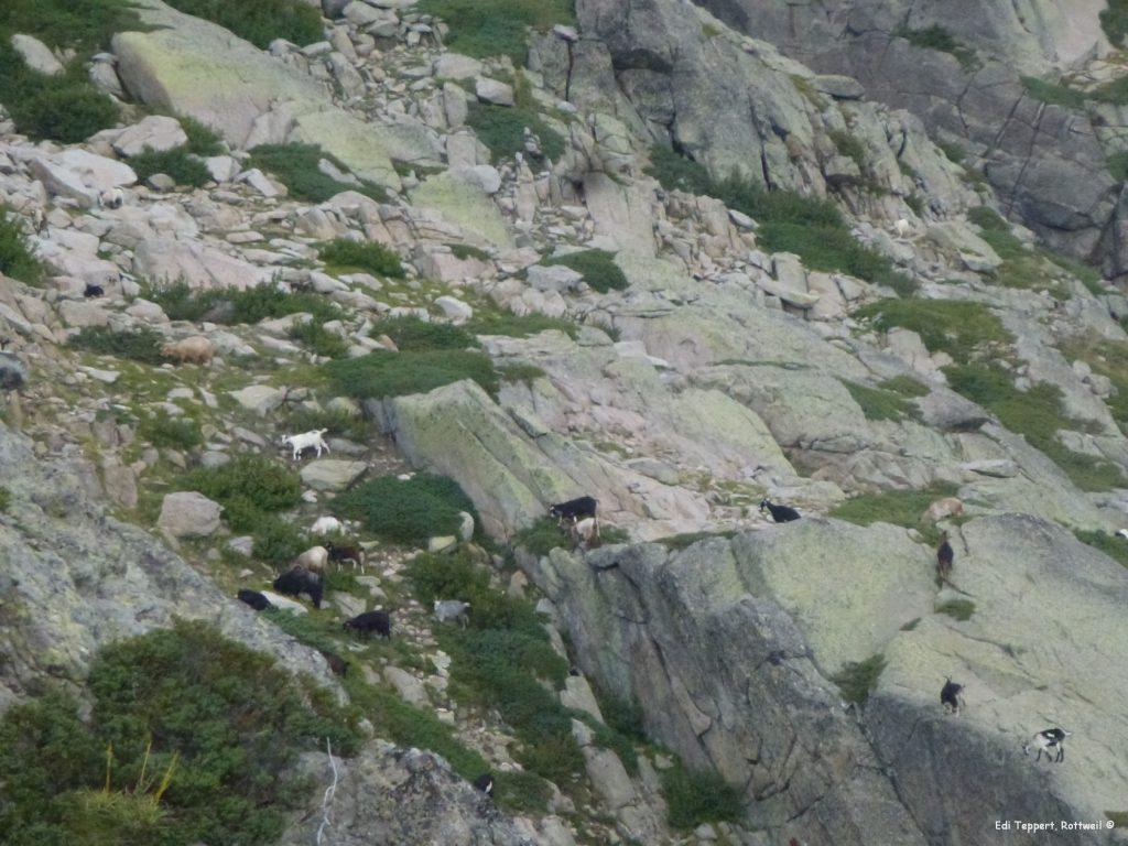 Die Ziegen sind excellente Kletterer
