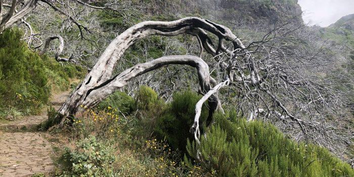 Die Reste der abgebrannten Bäume vom letzten Waldbrand auf der Wanderung zum Pico Ruivo