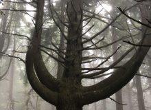 Ein riesiger mehrstämmiger Baum kurz vor dem Eintreffen am Parkplatz